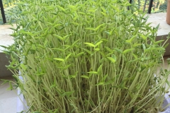 Green Hydrophonic fodder (green gram) (1)
