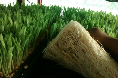 Green Hydrophonic fodder (maize)